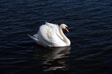 Free Swan Stock Photo - 14331500