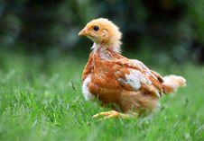 Walking Chicken Royalty Free Stock Photos