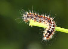 Free Black - Red Caterpillar Stock Photo - 14332730