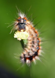 Free Scary Black - Red Caterpillar Royalty Free Stock Image - 14332736