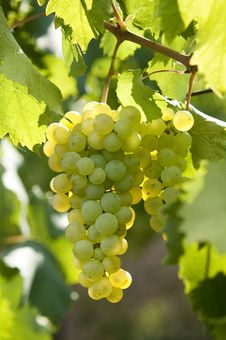 Free White Grapes Royalty Free Stock Image - 14332756