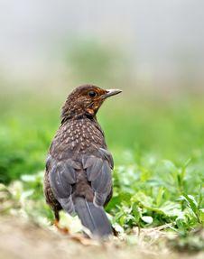 Free Eurasian Blackbird Stock Photography - 14332762
