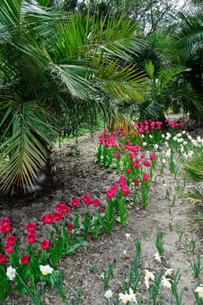 Palms,  Tulips And Daffodils Royalty Free Stock Images
