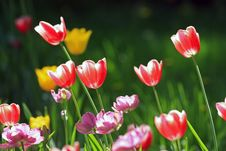 Free Tulips Royalty Free Stock Photos - 14333738