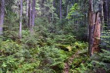 Free Forest Thicket Royalty Free Stock Images - 14333759