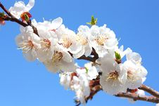 Free Flowers Of An Apricot Tree Stock Image - 14333961
