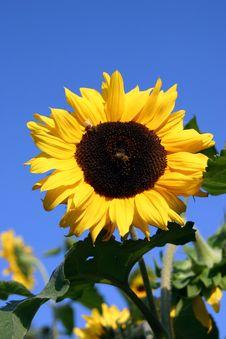 Free Sunflower Royalty Free Stock Photo - 14334655