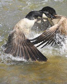 Free A Wild Gooses Royalty Free Stock Photos - 14334958