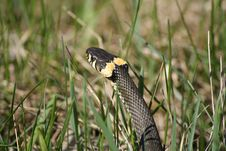 Free Grass Snake Royalty Free Stock Photo - 14335085