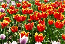 Free The Tulips Royalty Free Stock Photography - 14335287