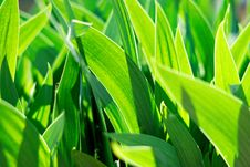 Free Spring Green Young Leaves Of Grass Royalty Free Stock Photography - 14335797
