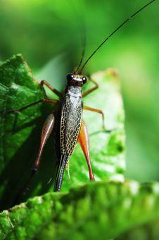 Free Grasshopper Royalty Free Stock Image - 14335886