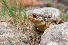 Adult Common Toad Walking On The Floor