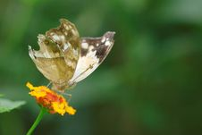 Free Appealing Butterfly On A Flower Royalty Free Stock Photo - 14336055