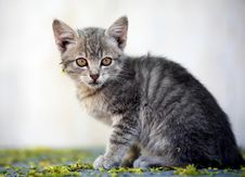 Free Little Beautiful Kitten Stock Photos - 14336663