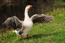 Duck With Wings Spread Stock Photo