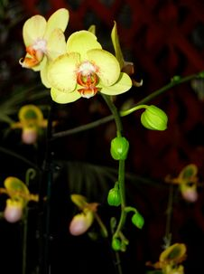 Free The Moth Orchid Stock Photo - 14336950