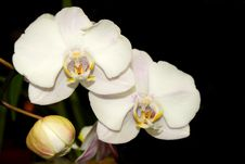 Free The Moth Orchid Royalty Free Stock Image - 14337386