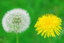 Free Two Dandelions Royalty Free Stock Images - 14337629
