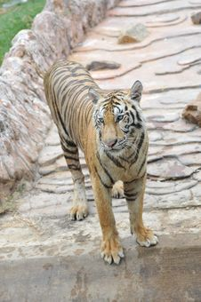 Free Standing Tiger Stock Images - 14337654