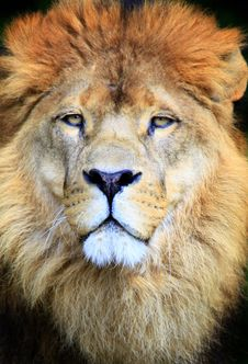 Free Lion Royalty Free Stock Photography - 14337817