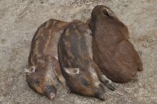 Trio Baby Boars Royalty Free Stock Image