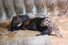 Free Two Porcupine Royalty Free Stock Image - 14337876
