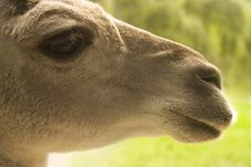 Free Llama Portrait Royalty Free Stock Images - 14338169