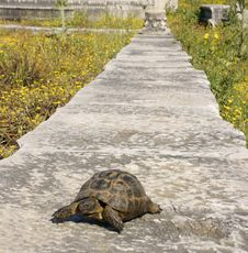 Free The Turtle Goes On A Path Royalty Free Stock Photography - 14338577