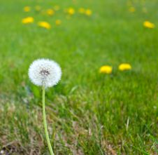 Free White Fluffy Dandelion Stock Photos - 14338863