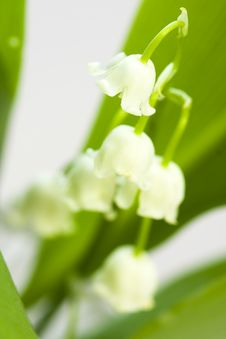 Free Lily Of The Valley Royalty Free Stock Photography - 14339577