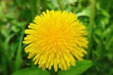 Free Yellow Dandelion Stock Photos - 14339793