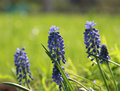 Free Blue Flowers Hyacinths Royalty Free Stock Images - 14345689