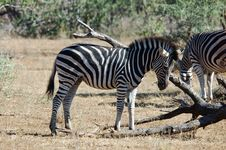 Free Burchell S Zebra In Africa Royalty Free Stock Image - 14340116