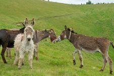 Free Wild Donkeys Royalty Free Stock Image - 14340556