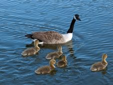Canada Goose With  Goslings Stock Images