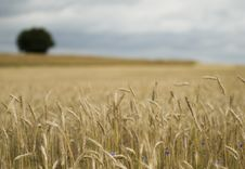 Wheat Field Soft Focus Stock Photography