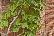 Ivy And Brick Wall Royalty Free Stock Photo