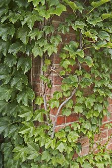 Ivy And Brick Wall Stock Image