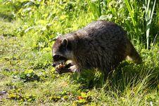 Free Raccoon Stock Image - 14345501