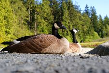 Free Canada Geese Royalty Free Stock Photo - 14345545