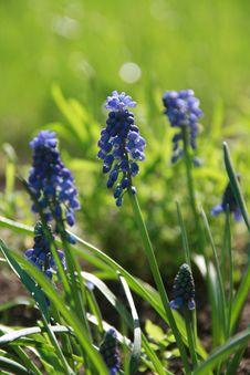 Free Blue Flowers Hyacinths Stock Photos - 14345843