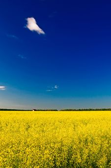 Little House Among Golden Rapeseed Field. Stock Images