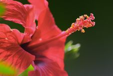 Free Red Hibiscus Stock Images - 14346464