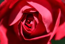 Free Heart Of Red Rose Stock Image - 14346481
