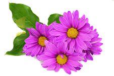 Free Purple Daisy Flowers Stock Image - 14346771