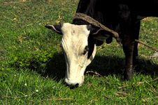 Free Cow Stock Images - 14347014
