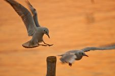 Free Seagull Flying Royalty Free Stock Image - 14347246