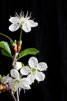 Free Cherry Blossom Stock Photo - 14347280