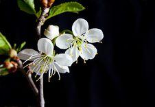Free Cherry Blossom Stock Image - 14347281